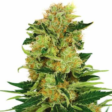 Where to get weed seeds online