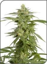 White dawg seeds