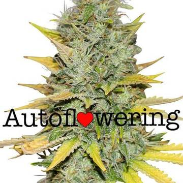 Automatic flowering cannabis seeds