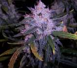 Blue frost seeds