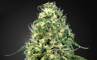 Sell cannabis seeds online