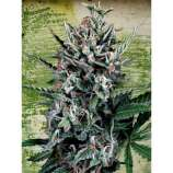 Auto silver bullet seeds