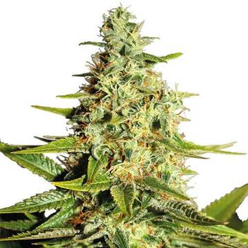 Pot seeds feminized
