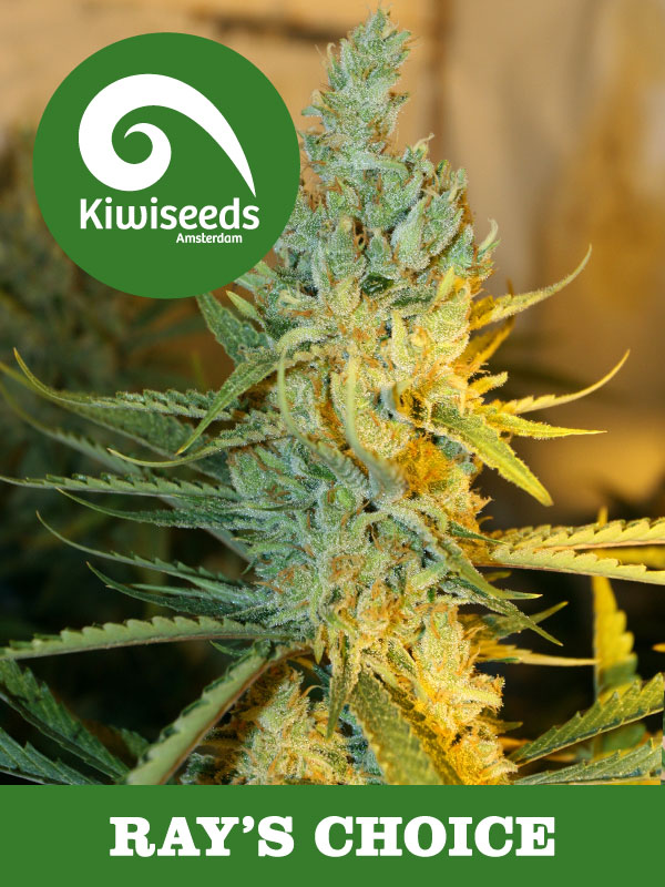 White russian weed seeds