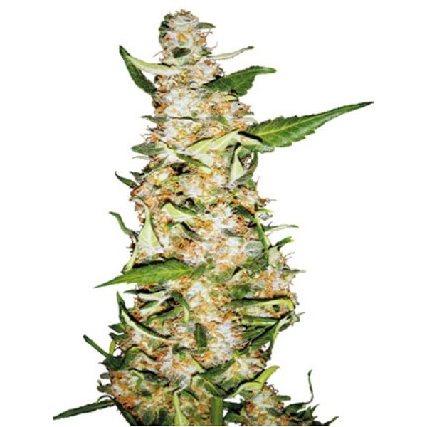 Female weed seeds for sale uk