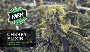 Colorado weed seeds for sale online