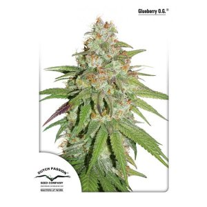 Most popular cannabis seeds