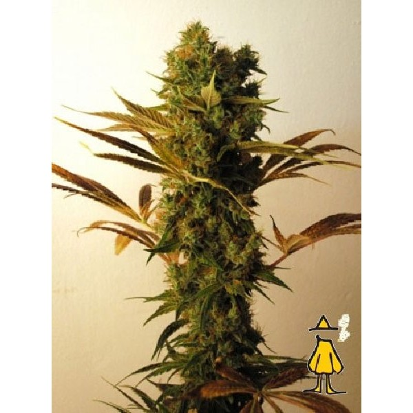 Buy marijuana seeds uk