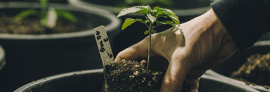 Best weed seeds to grow