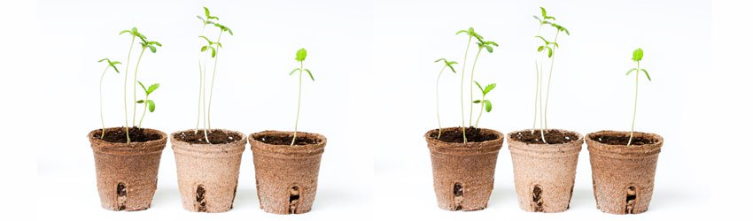 Growing cannabis from seed indoors