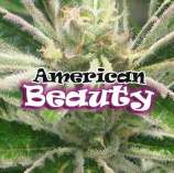American beauty seeds