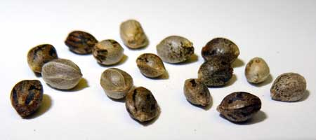 Is buying cannabis seeds online safe