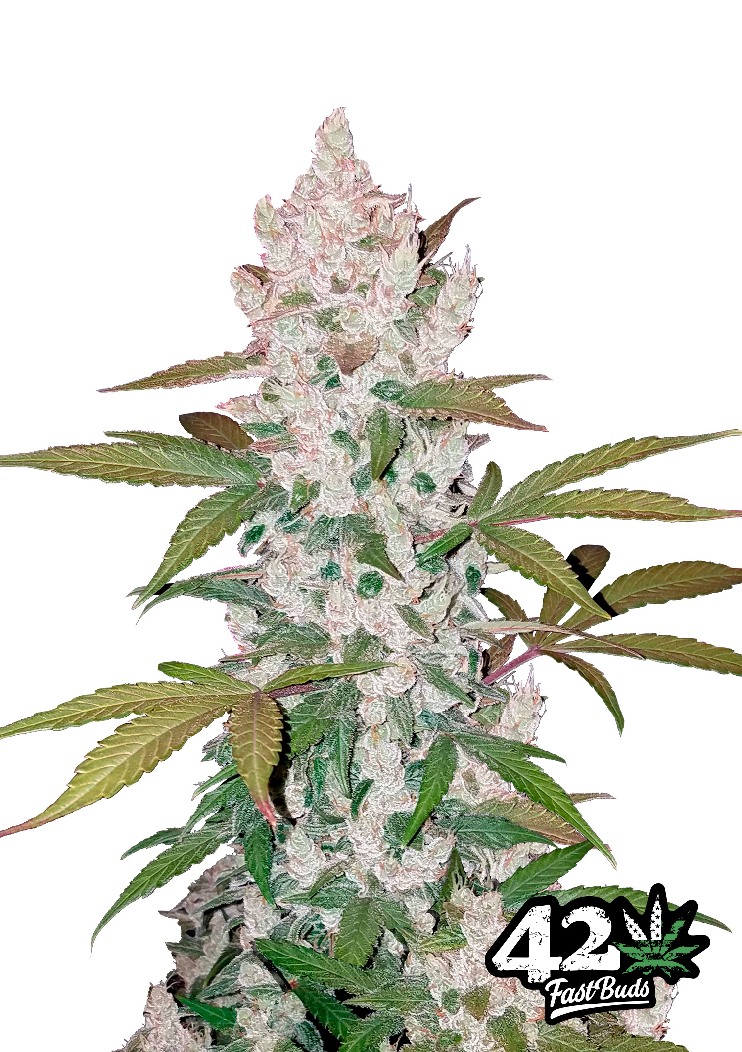 Cannabis seeds online uk