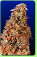 Super silver hash plant seeds