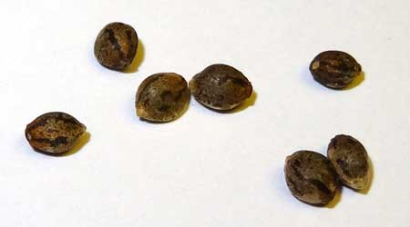 Best site to buy cannabis seeds online