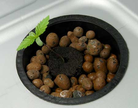Hydroponic weed seeds
