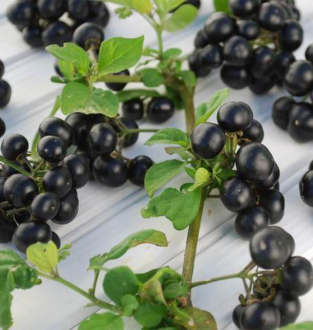 Huckleberries seeds