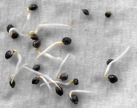 Images of weed seeds