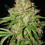 Auto white prussian seeds