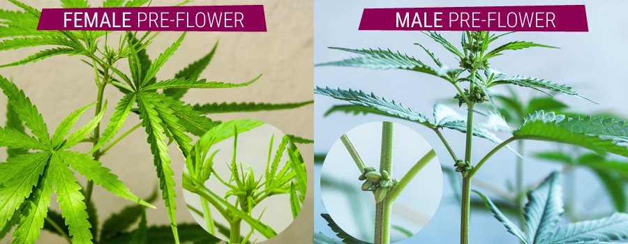 Do male or female weed plants have seeds
