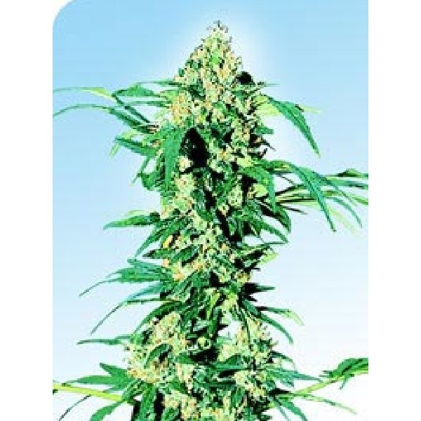 Medical cannabis seeds for sale uk