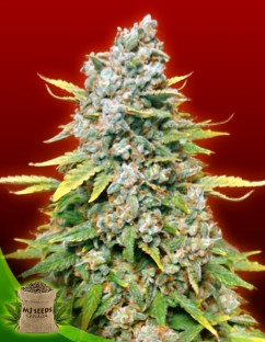 Cheap weed seeds for sale in canada