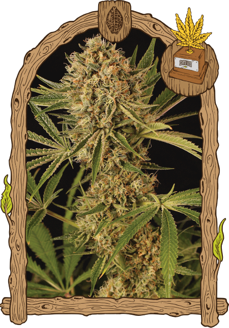 Exotic cannabis seeds for sale