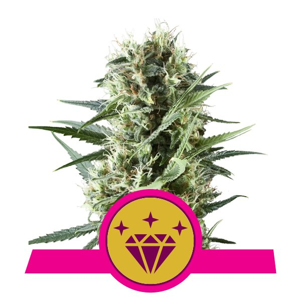 Weed seed for sale cheap
